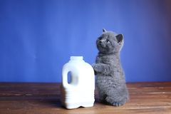 British Shorthair blue new born kitten near a bottle of milk. British Shorthair new born kitten near a bottle of milk, wooden background, portrait royalty free stock images