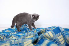 British Shorthair on a blue rug Stock Photo