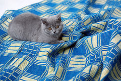 British Shorthair on a blue rug Royalty Free Stock Image