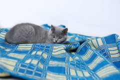 British Shorthair on a blue rug Royalty Free Stock Images