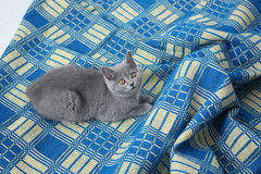 British Shorthair on a blue rug Royalty Free Stock Photo