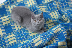 British Shorthair on a blue rug Royalty Free Stock Photography