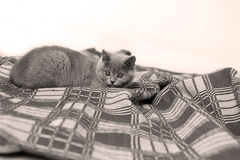 British Shorthair on a blue rug Stock Image