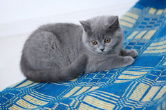 British Shorthair on a blue rug Stock Photography