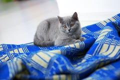 British Shorthair on a blue rug Stock Photo