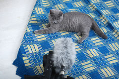 British Shorthair on a blue rug Stock Photos