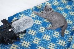 British Shorthair on a blue rug Stock Images
