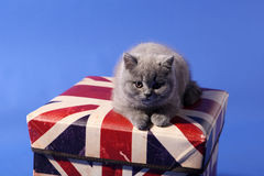 British Shorthair on a box Royalty Free Stock Photo
