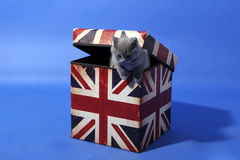 British Shorthair in a box Stock Images