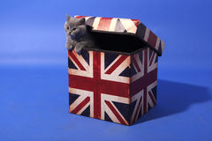 British Shorthair in a box Stock Photography
