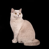 British shorthair on brown  background. A portrait of a beautiful  cat  on black background Stock Photo