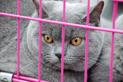 British Shorthair Stock Photo