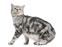 British shorthair cat, 15 months old Stock Photography