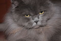 British shorthair cat Royalty Free Stock Photos