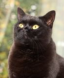 British Shorthair Cat. Portrait of a male British Shorthair cat Royalty Free Stock Photos