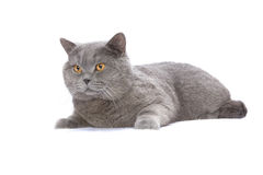 British shorthair cat Stock Images