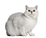 British shorthair cat, 2 years old. Sitting in front of white background Royalty Free Stock Image
