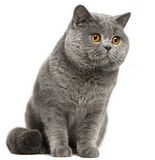 British Shorthair cat, 2 years old