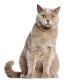 British Shorthair cat, 2 years old, sitting stock photo