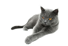 British shorthair cat Royalty Free Stock Image