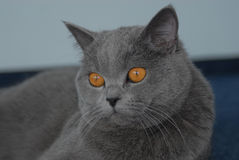 British shorthair cat Stock Image