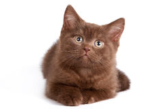British Shorthair cat. British Shorthair kitten on white background royalty free stock photos