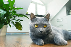 Free British Shorthair Cat Stock Photos - 38290253