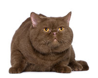 British shorthair cat, 4 years old Stock Photos
