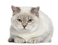 British shorthair cat, 7 months old Stock Photography