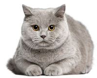British Shorthair cat, 8 months old Stock Photo