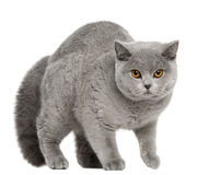 British Shorthair Cat, 8 months old, walking Stock Photos