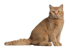 British shorthair cat, 9 months old Royalty Free Stock Photo