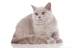 British shorthair cat adult Royalty Free Stock Image