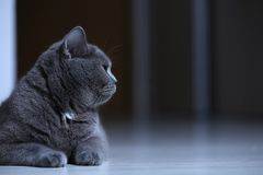 British Shorthair cat against a black background,  portrait Royalty Free Stock Images
