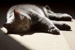 British Shorthair cat basking in the sunshine Royalty Free Stock Photo