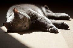 British Shorthair cat basking in the sunshine Royalty Free Stock Photo
