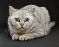 British shorthair cat. Royalty Free Stock Photo