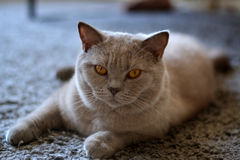 British Shorthair Cat Stock Image