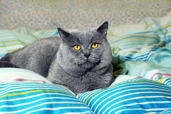 British shorthair cat on the bed Stock Image