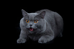 British shorthair cat on black Royalty Free Stock Photos