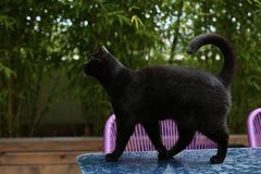 British Shorthair cat. Black British Shorthair adult cat walking on a table in the garden stock photos