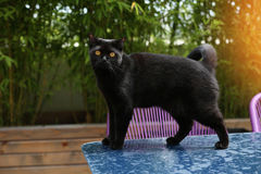British Shorthair cat. Black British Shorthair adult cat walking on a table in the garden royalty free stock image