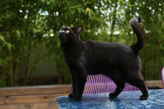 British Shorthair cat. Black British Shorthair adult cat walking on a table in the garden stock photography