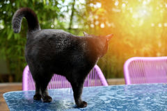 British Shorthair cat. Black British Shorthair adult cat walking on a table in the garden royalty free stock photography