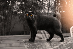 British Shorthair cat. Black British Shorthair adult cat walking on a table in the garden royalty free stock photo