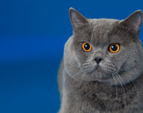 British shorthair cat on blue Stock Photography