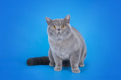 British shorthair cat on a blue background  Royalty Free Stock Image