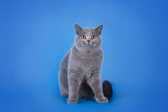 British shorthair cat on a blue background isolated Stock Image