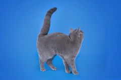 British shorthair cat on a blue background isolated Royalty Free Stock Image