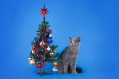 British shorthair cat on a blue background isolated Royalty Free Stock Images